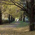 Photos: 昭和記念公園【イチョウ並木】7