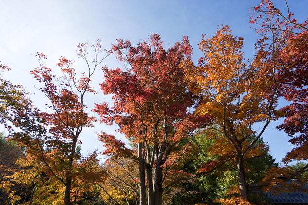 昭和記念公園【日本庭園:清池軒周辺の紅葉】4