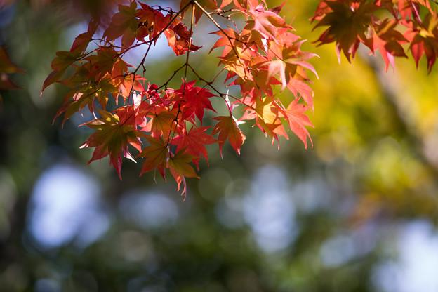 昭和記念公園【日本庭園:紅葉のピックアップ】3