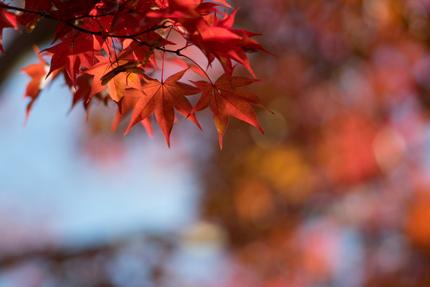 昭和記念公園【日本庭園:紅葉のピックアップ】5