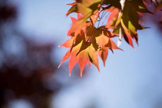 昭和記念公園【日本庭園:紅葉のピックアップ】6