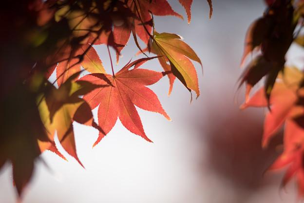 昭和記念公園【日本庭園:紅葉のピックアップ】9