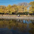 昭和記念公園【カナールのイチョウ】3
