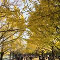 昭和記念公園【カナールのイチョウ】4