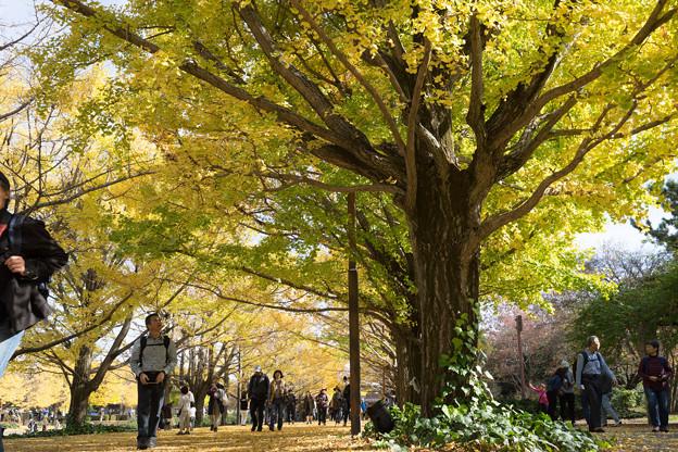 昭和記念公園【カナールのイチョウ】5