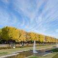 昭和記念公園【カナールのイチョウ】6