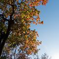 近所の緑道【ナンキンハゼの紅葉】2