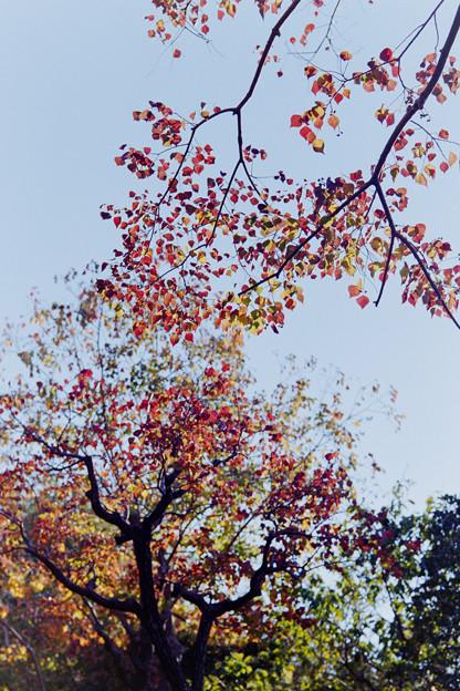 近所の緑道【ナンキンハゼの紅葉】4