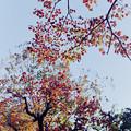 Photos: 近所の緑道【ナンキンハゼの紅葉】4