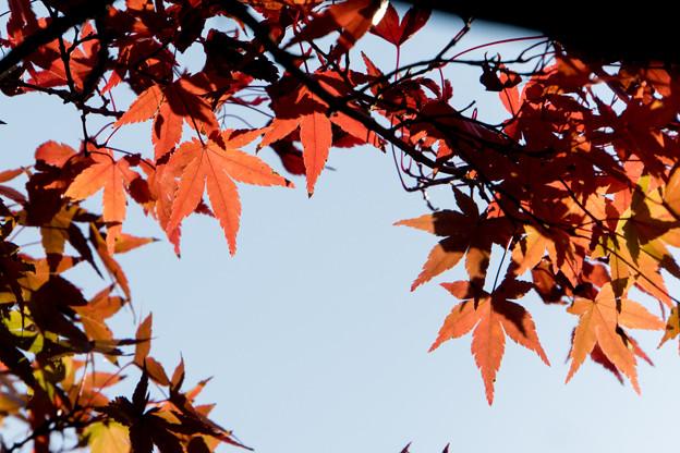 近所の緑道【モミジの紅葉】9