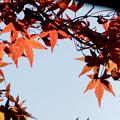 写真: 近所の緑道【モミジの紅葉】9