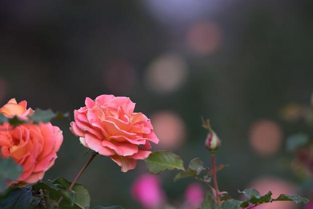 大船フラワーセンター【秋バラ:ブラスバンド】2