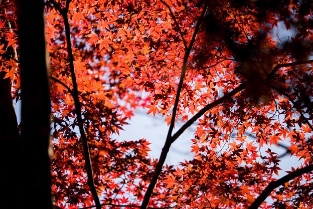 薬師池公園【たいこ橋東側の紅葉】4