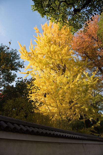 小石川後楽園【塀の外から見た紅葉】2