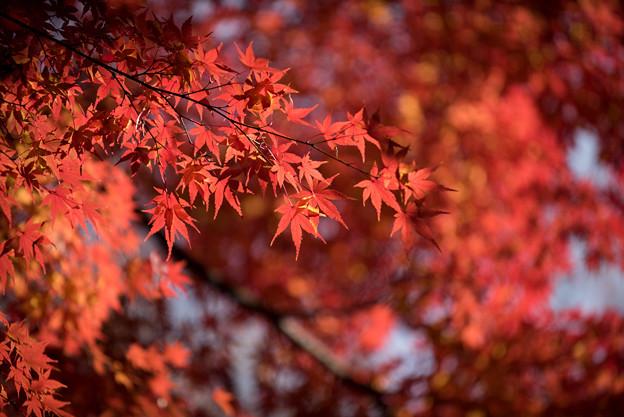 【旧古河庭園の紅葉】5