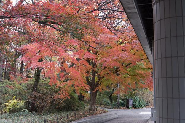 神代植物公園【バラ園テラス裏側のモミジ】2