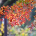 神代植物公園【バラ園テラス裏側のモミジ】3