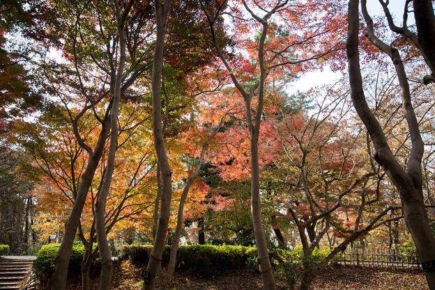 神代植物公園【かえで園の紅葉】1-3