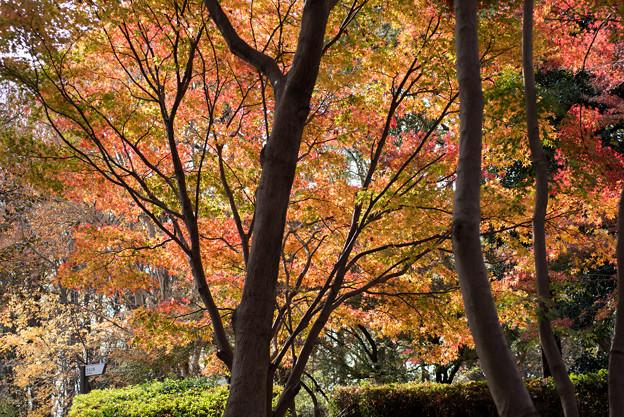 神代植物公園【かえで園の紅葉】1-5