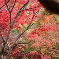 神代植物公園【かえで園の紅葉】2-1
