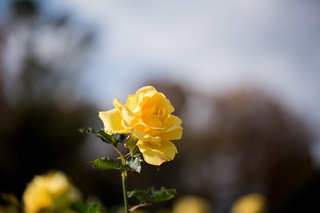 神代植物公園【冬バラ:コールド・バニー】1