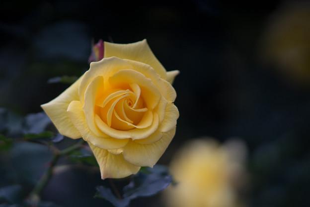 神代植物公園【冬バラ:コールド・バニー】2