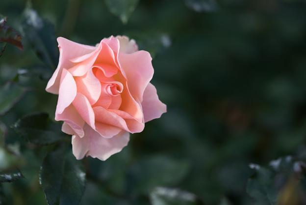 神代植物公園【冬バラ:麗らかなメロディー】2