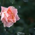 Photos: 神代植物公園【冬バラ:麗らかなメロディー】2