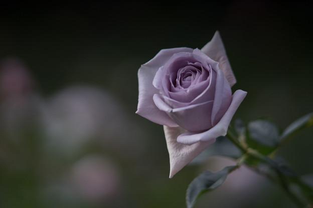 神代植物公園【冬バラ:ブルー・バユー】