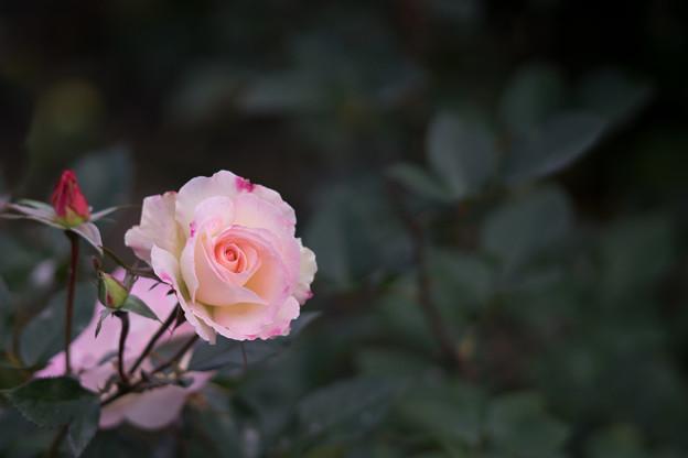 神代植物公園【冬バラ:フラワーガール】1
