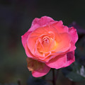 神代植物公園【冬バラ:フラワーガール】2