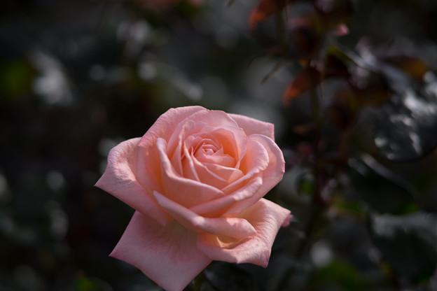 神代植物公園【冬バラ:ファバージェ】