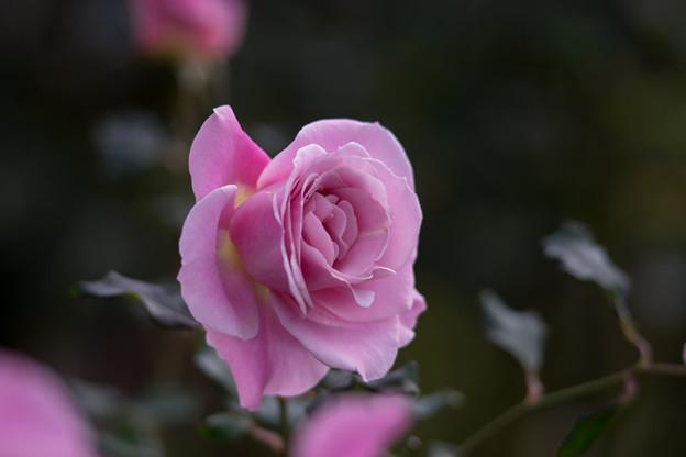 Photos: 神代植物公園【冬バラ:ピンク・フレンチ・レース】