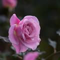神代植物公園【冬バラ:ピンク・フレンチ・レース】