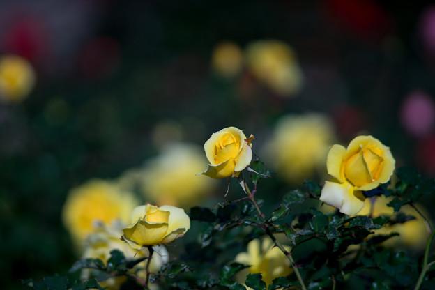 神代植物公園【冬バラ:ゴールドマリー】1