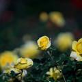 Photos: 神代植物公園【冬バラ:ゴールドマリー】1