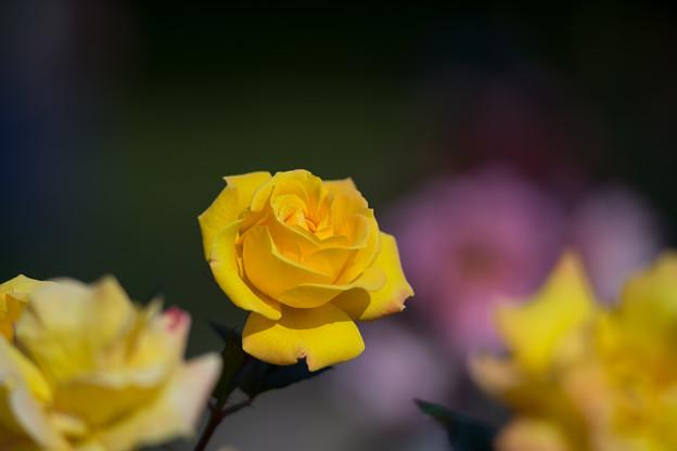 神代植物公園【冬バラ:ゴールドマリー】2