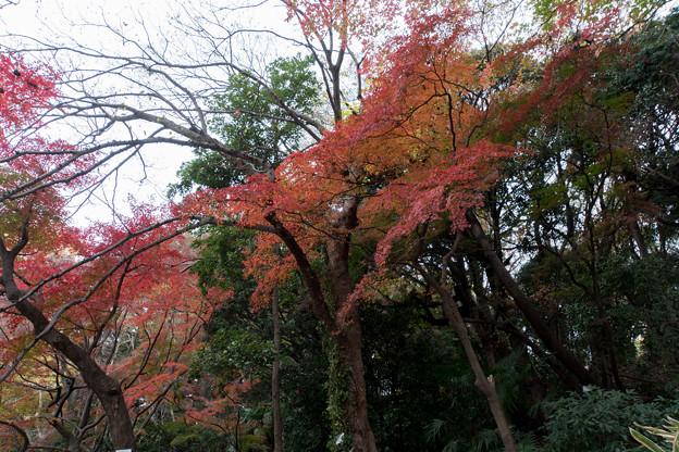 小石川植物園【小道沿いの紅葉】3