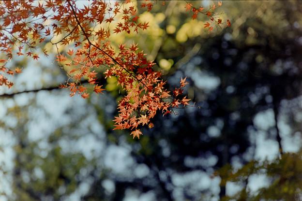 新宿御苑【もみじ山の紅葉】9