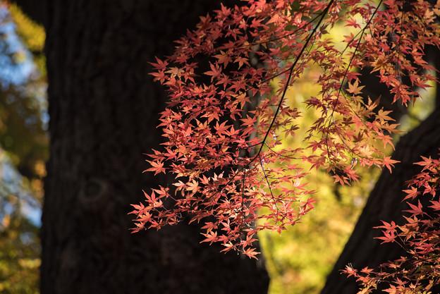 新宿御苑【上の池あたりの紅葉】4