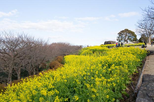 吾妻山公園【菜の花畑:FE 16-35mm f4】3