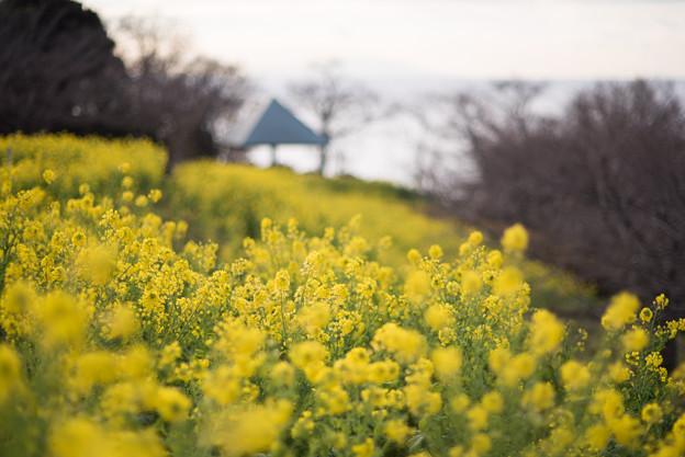 吾妻山公園【菜の花畑:Nikkor 85mm f1.4】1
