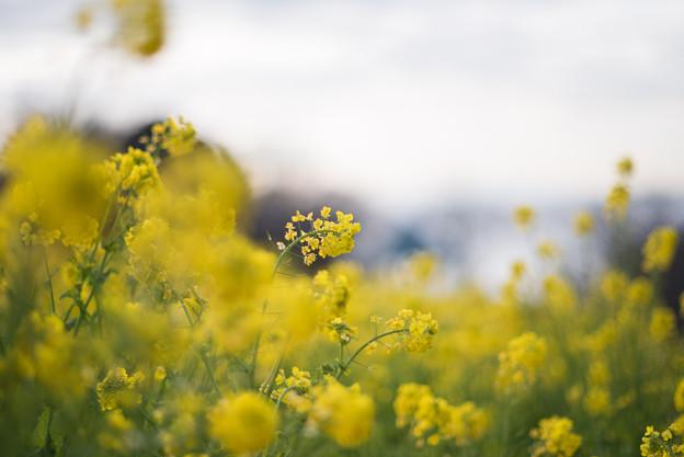 吾妻山公園【菜の花畑:Nikkor 85mm f1.4】2