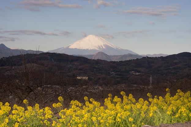 吾妻山公園【菜の花畑と富士山:Nikkor 85mm f1.4】3