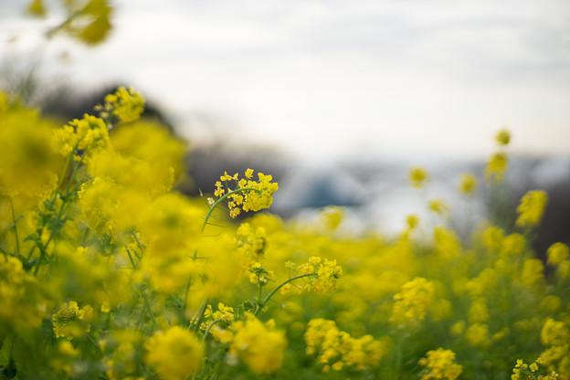 吾妻山公園【菜の花畑:Planar 85mm f1.4】3