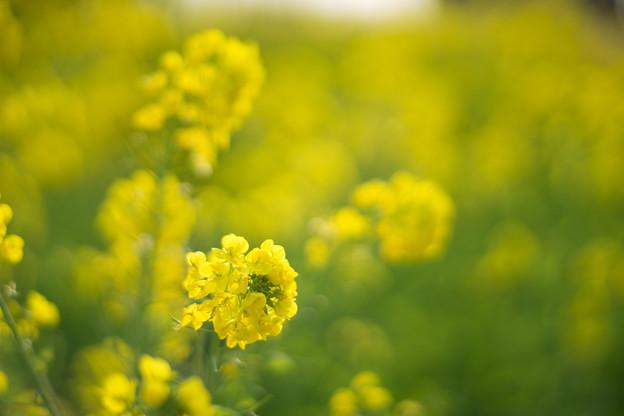 17吾妻山公園【菜の花畑:Planar 85mm f1.4】5