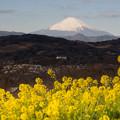吾妻山公園【菜の花畑と富士山:Planar 85mm f1.4】6