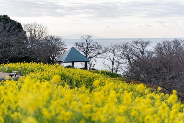 吾妻山公園【菜の花畑:Tamron 90mm f2.8】3