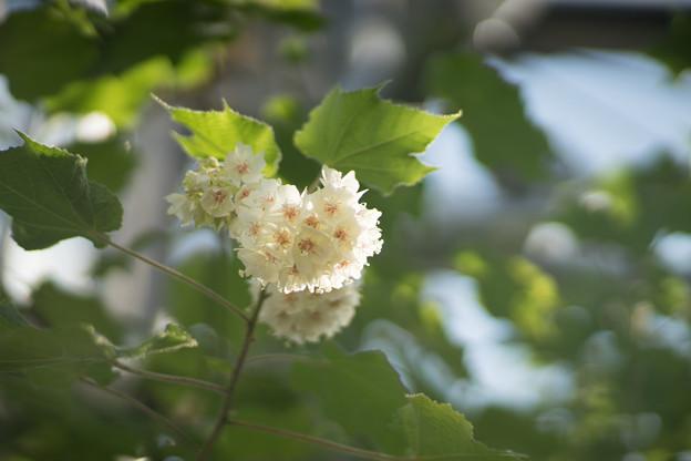 大船フラワーセンター【温室の花:ドンベア】1