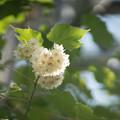 Photos: 大船フラワーセンター【温室の花:ドンベア】1